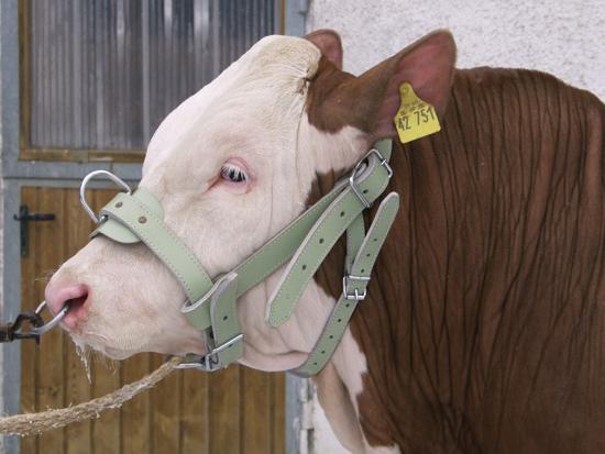 Fotografija izdelka Uzda za bika