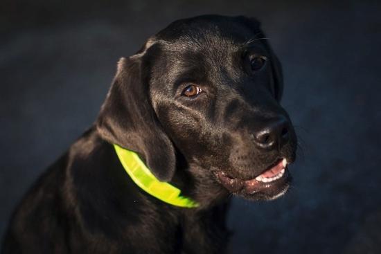 Fotografija izdelka Odsevna ovratnica za psa - S